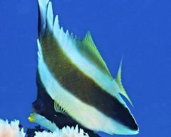 klipka žlutoústá - Heniochus chrysostomus - Pennant Bannerfish