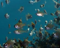 parmovec průsvitný - Apogon leptacanthus - Longspine Cardinalfish