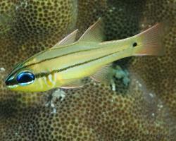 parmovec Sealeův - Apogon sealei - Seale's Cardinalfish