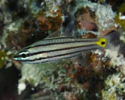 parmovec pruhovaný - Cheilodipterus isostigmus - Dog-toothed cardinalfish