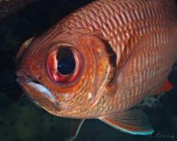 pruhatec okatý - Myripristis murdjan - Blotcheye soldierfish