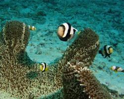 klaun sedlový - Amphiprion polymnus - Saddleback Anemonefish
