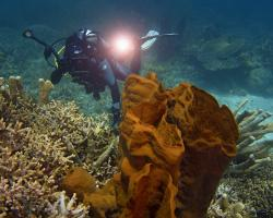 sudová houba - Xestospongia - Barrel Sponge