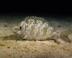 králíčkovec tmavý - Siganus fuscescens - Dusky Rabbitfish