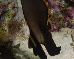 netopýrník tmavý (mládě) - Platax pinnatus - red-faced batfish
