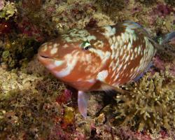ploskozubec harid - Hipposcarus harid - Longnose parrotfish