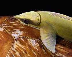 štítovec lodivod - Echeneis naucrates - Sharksucker