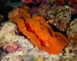 šestižábrovec červený - Hexabranchus sanguineus - Spanish Dancer