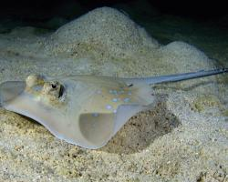 trnucha vanicorská - Neotrygon kuhlii - Bluespotted stingray