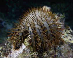 hvězdice trnová koruna - Acanthaster planci - Crown-of-thorns Starfish
