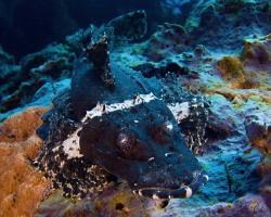 zploštělec Beaufortův (černá varianta) - Cymbacephalus beauforti - Beautford's Crocodilefish