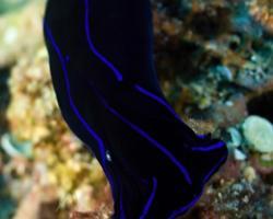 nahožábrý plž - Chelidonura varians - Blue Velvet Headshield Slug