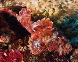 ropušnice jedovatá - Scorpaenopsis venosa - Raggy Scorpionfish