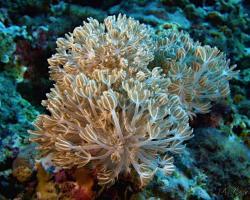 laločník - Heteroxenia fuscescens - Soft Coral