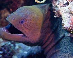 muréna jávská - Gymnothorax javanicus - Giant moray