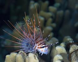 perutýn tykadlový - Pterois antennata - Spotfin Lionfish