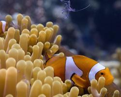 klaun očkatý - Amphiprion ocellaris - False clown Anemonefish