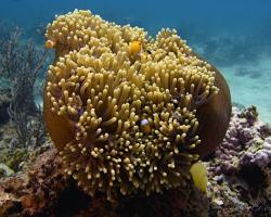 sasanka velkolepá - Heteractis magnifica - Magnificent Sea Anemone