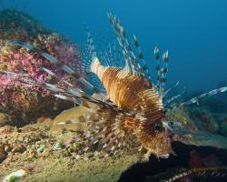 perutýn ohnivý - Pterois volitans - Common Lionfish,Turkeyfish, Red Lionfish
