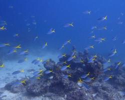 chňapálek modrožlutý - Caesio teres - Yellowback Fusilier