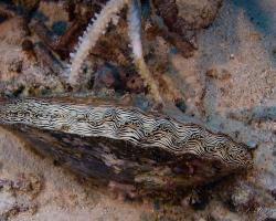 perlotvorka paprskovitá - Pinctada imbricata - Pearl Oyster