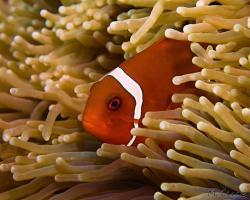 klaun ostnitý - Premnas biaculeatus - maroon clownfish