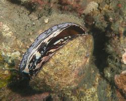 ostnovka - Spondylus squamosus - scaly thorny oyster