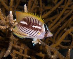 klipka krokvová - Chaetodon trifascialis - Chevron Butterflyfish