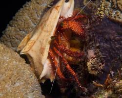 poustevníček bělotečný - Dardanus megistos - white-spotted hermit crab