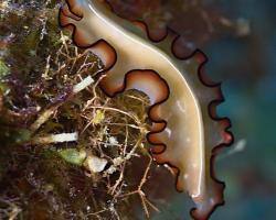 plochý červ - Maiazoon orsaki - Orsaki Flatworm