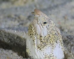 hadař mramorovaný - Callechelys marmorata - marbled snake eel