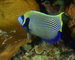 pomec císařský - Pomacanthus imperator - Emperor angelfish