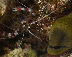 kreveta drsná - Stenopus hispidus - Banded Boxer Shrimp