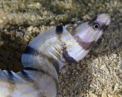 muréna záhadná - Gymnothorax enigmaticus - enigmatic moray, tiger moray