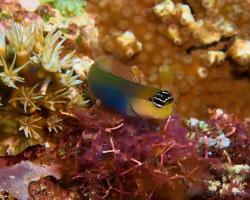 slizoun - Ecsenius caeruliventris - Bluebelly Blenny
