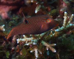 hranobřich dlouhonosý - Canthigaster papua - papuan toby