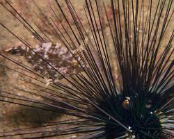 pilníkotrn šedozelený - Acreichthys tomentosus - Bristle-tail file-fish