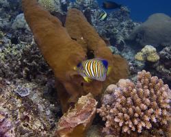 pomec královský - Pomacanthus diacanthus - Regal Angelfish