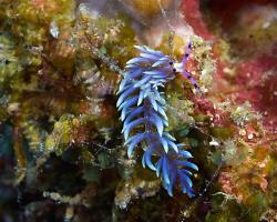 mládě - juvenile Pteraeolidia semperi - Blue Dragon