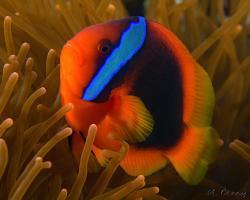 klaun uzdičkatý - Amphiprion frenatus - tomato anemonefish