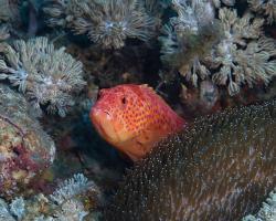 kanic modroskvrnný - Cephalopholis miniata - coral grouper