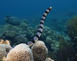 vlnožil užovkový - Laticauda colubrina - Banded Sea Krait; Yellow-lipped Sea Krait