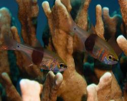 parmovec tmavopásý - Taeniamia zosterophora - Blackbelted cardinalfish