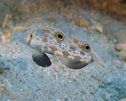 hlaváč krabí - Signigobius biocellatus - Two Spot Goby;  Crab-eyed Goby