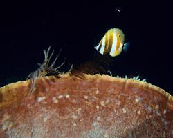 zobec oranžovopruhý - Coradion chrysozonus - Orange-banded coralfish