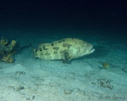 kanic hnědoskvrnný - Epinephelus fuscoguttatus - Brown-marbled grouper