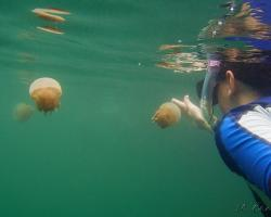 medůza zlatá - Mastigias papua - Papuan Jellyfish