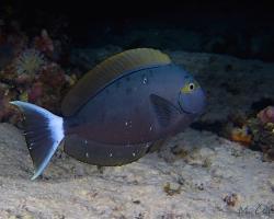 bodlok žlutočelý - Acanthurus mata - Elongate Surgeonfish