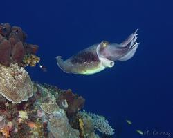 sepie velká - Sepia latimanus - broadclub cuttlefish