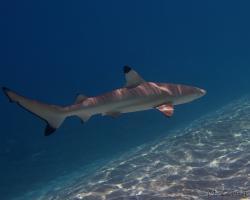 žralok černoploutvý - Carcharhinus melanopterus - blacktip reef shark